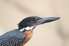 Gaintijsvogel Royalty-vrije Stock Afbeeldingen