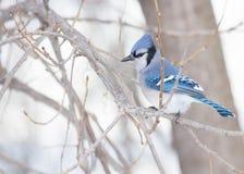 Gaio azul Fotografia de Stock Royalty Free