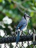 Gaio azul com uma crista enrugado Imagem de Stock Royalty Free