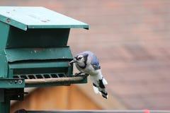 Gaio azul (cristata do Cyanocitta) no alimentador Foto de Stock Royalty Free