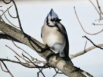 Gaio azul que senta-se em uma árvore durante o inverno Fotografia de Stock Royalty Free