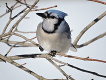 Gaio azul que senta-se em uma árvore em ramos desencapados no inverno Imagem de Stock Royalty Free