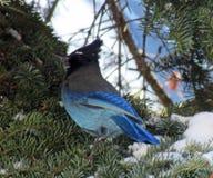 Gaio estelar do ` s na árvore spruce no inverno Foto de Stock