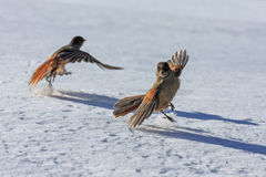 Gaio Siberian em março Foto de Stock