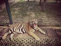 Gaiola animal do jardim zoológico do rugido do tigre Fotografia de Stock