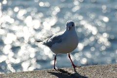 A gaivota Foto de Stock Royalty Free