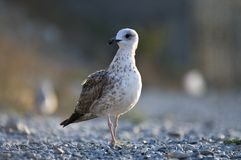A gaivota Fotografia de Stock
