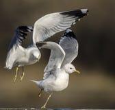 gaivota Imagem de Stock
