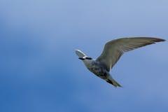 A gaivota Fotos de Stock Royalty Free