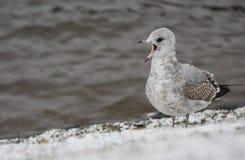 A gaivota Fotos de Stock