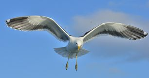Gaivota adulta da alga do voo Fotos de Stock Royalty Free