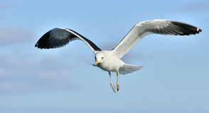 Gaivota adulta da alga do voo & x28; Dominicanus& x29 do Larus; , igualmente sabido como a gaivota e o preto dominiquenses suport Fotografia de Stock Royalty Free