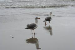 gaivota Amarelo-equipadas com pernas na praia Foto de Stock