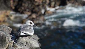 gaivota Andorinha-atada Fotos de Stock Royalty Free