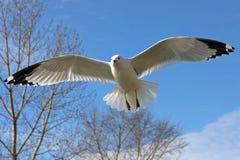 gaivota Anel-faturada Foto de Stock