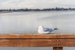 gaivota Anel-faturada Imagens de Stock Royalty Free