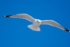 gaivota Anel-faturada Imagem de Stock