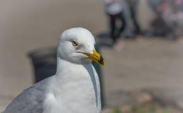 a gaivota Anel-faturada (delawarensis do Larus) pausa em uma borda feche acima do pássaro muito comum como olha longe da câmera Fotografia de Stock Royalty Free