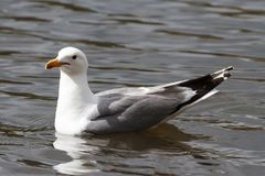 Gaivota Anel-faturada que flutua na água calma Fotos de Stock