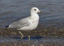 gaivota Anel-faturada que forrageia em uma praia do Lago Huron Foto de Stock