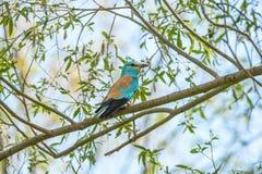 Gaivota azul na natureza, sentando-se em um ramo Fotografia de Stock