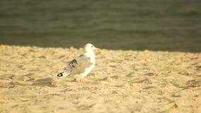 Gaivota bonita que anda na praia video estoque