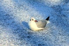 Gaivota branca bonita no gelo no inverno Fotos de Stock Royalty Free