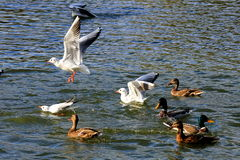 Gaivota branca bonita que voa sobre a água Foto de Stock Royalty Free