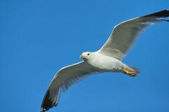 Gaivota branca no céu azul Imagens de Stock Royalty Free