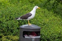 Gaivota branca no escaninho de lixo Imagens de Stock Royalty Free