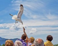 Gaivota branca subindo, close-up no céu claro no dia de verão Voo da gaivota alimentando as gaivota das mãos dos turistas fotos de stock royalty free