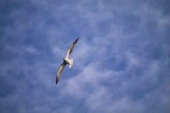 Gaivota comuns que voam o iabove o mar fotografia de stock