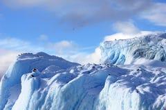 Gaivota da alga e andorinhas-do-mar árticas que voam e que sentam-se no iceberg, península antártica Fotos de Stock Royalty Free