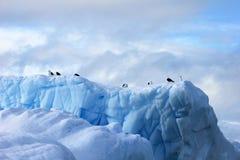 Gaivota da alga e andorinhas-do-mar árticas que voam e que sentam-se no iceberg, península antártica Imagens de Stock