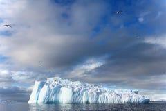 Gaivota da alga e andorinhas-do-mar árticas que voam e que sentam-se no iceberg, península antártica Imagem de Stock