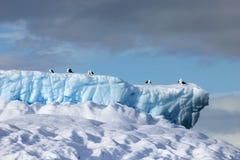 Gaivota da alga e andorinhas-do-mar árticas que voam e que sentam-se no iceberg, península antártica Imagens de Stock Royalty Free