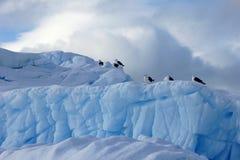 Gaivota da alga e andorinhas-do-mar árticas que voam e que sentam-se no iceberg, península antártica Imagem de Stock Royalty Free