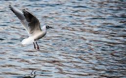 Gaivota da aterrissagem da água Fotografia de Stock
