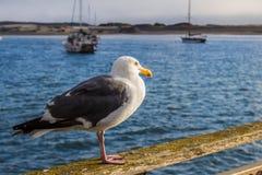 Gaivota da baía de Morro Foto de Stock Royalty Free