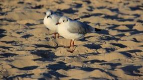 Gaivota da natureza dois em Sandy Beach Freedom Of Life dourado imagem de stock royalty free