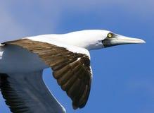 1 gaivota das caraíbas do peito que voa muito perto Fotografia de Stock Royalty Free