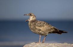 Gaivota de arenques (argentatus do Larus) Fotos de Stock Royalty Free