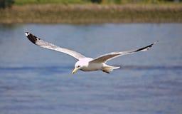 Gaivota de arenques em voo imagens de stock royalty free