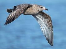 Gaivota de arenques em voo foto de stock royalty free