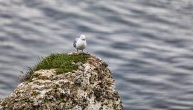 A gaivota de arenques européia nos penhascos de Etretat Imagens de Stock Royalty Free