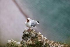 A gaivota de arenques européia nos penhascos de Etretat fotografia de stock royalty free