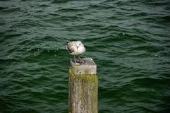 Gaivota de arenques nova em um quebra-mar Imagens de Stock Royalty Free