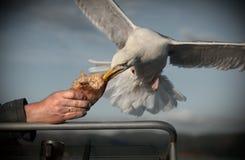 Gaivota de arenques que toma o pão Fotos de Stock Royalty Free