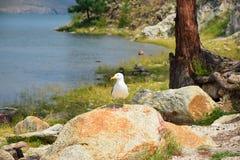A gaivota de Baikal Imagem de Stock Royalty Free
