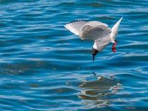 A gaivota de Bonaparte Imagem de Stock